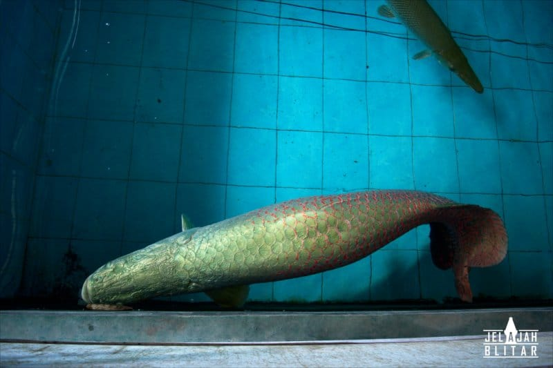 Arapaima Gigas di Fish Garden Blitar