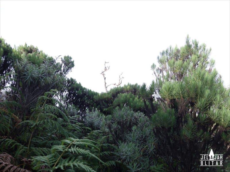 Pohon bunga edelweiss di Gn Butak